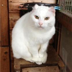 Une chatte amput e des oreilles apr s un coup de soleil nuage ciel d 39 azur - Coup de soleil tache blanche ...
