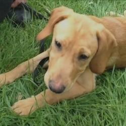 un chien souffrant d'une malformation du coeur opéré par des chirurgiens pour humains