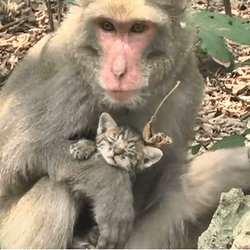 un macaque s'occupe de chatons orphelins