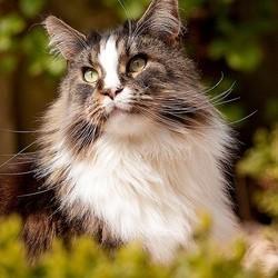 les races de chats préférés des français