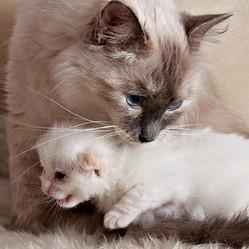 une maman chat et son chaton