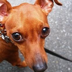 mambo pinscher chien martyr