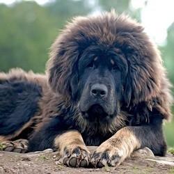 mastiff du tibet, dogue du tibet