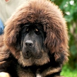 dogue du tibet, mastiff tibétain