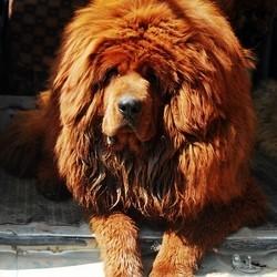 le mastiff du tibet, un chien comme signe extérieur de richesse en Chine