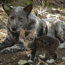 un chaton handicapé et son meilleur ami le bouvier australien