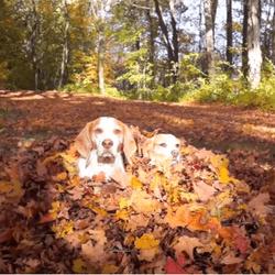 maymo chien beagle