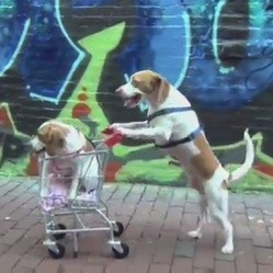 deux beagle en balade