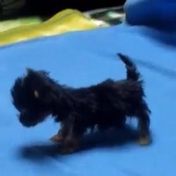 le plus petit chien du monde