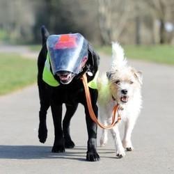 un chien aveugle guidé par un autre chien
