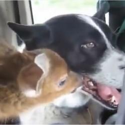 un chien adopte un faon