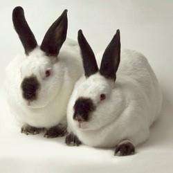 deux lapins inséparables