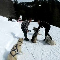 musher chiens traineau maltraitance