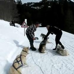 musher chiens traineau maltraitance