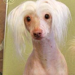 chien chinois à crête, chien star