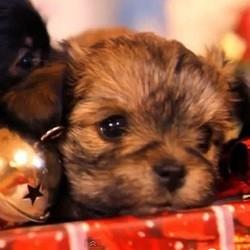 video de chiots noel sapin cadeaux