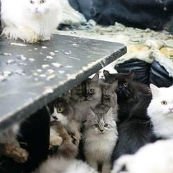 nombreux chats suede