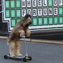 Un chien fait dela trottinette, norman the scooter dog