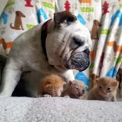 Un bulldog adopte de chatons