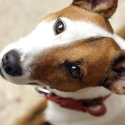 ouifi chien jack russell menorquy france 3