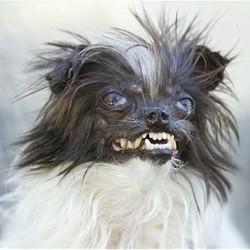 le chien le plus laid du monde