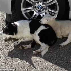 un mouton se prend pour un chien de berger