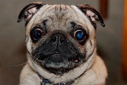 photo yeux chien