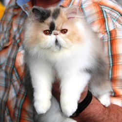photos de chat persan