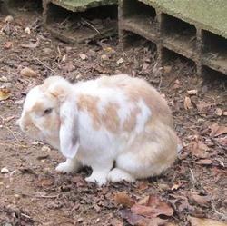 une lapine parcourt 20 kilomètres pour retrouver son fiancé