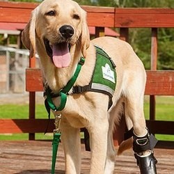 Labrador Retriever handicapé