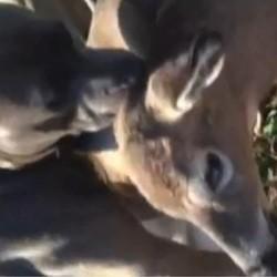 un pitbull vole au secours d'un cerf blessé