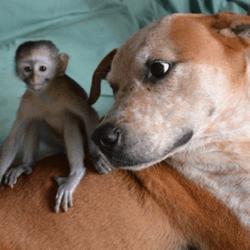 pitbull chimpanzé