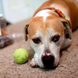 un pitbull à 3 pattes remporte un concours canin