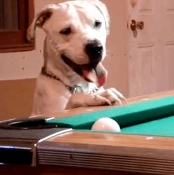 Pitt Bull qui joue au billard