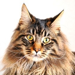 maine coon le plus long chat du monde
