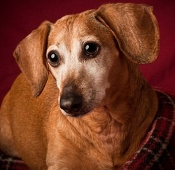 le plus vieux chien du monde