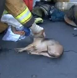 pompiers sauvent chihuahua chien video