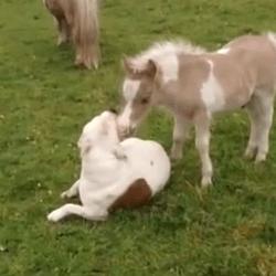 Poney et chien