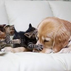 Un Golden Retriever s'occupe de chatons abandonnés