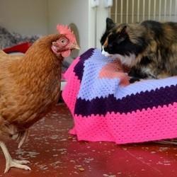 poule chat