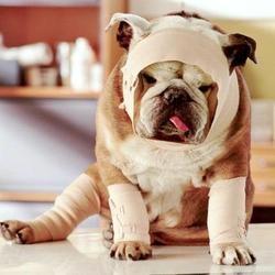 photo chien bandage premiers secours