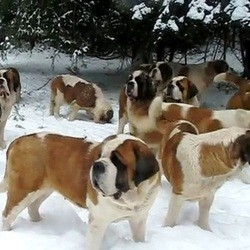 chiens saint bernard neige eleveur