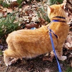 promener chat laisse