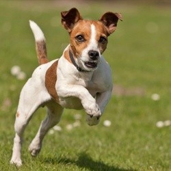 comment faire venir mon chien au pied