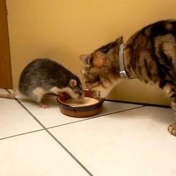 rat chat video
