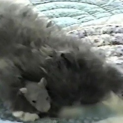 rat chaton amour mignon video