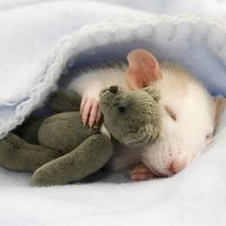 un rat dort avec un ours en peluche
