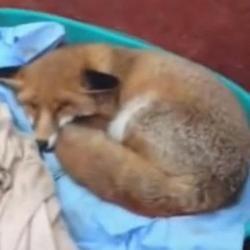 un renard qui se prend pour un chien