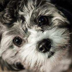 chiot portrait