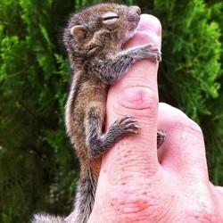Bébé écureuil orphelin